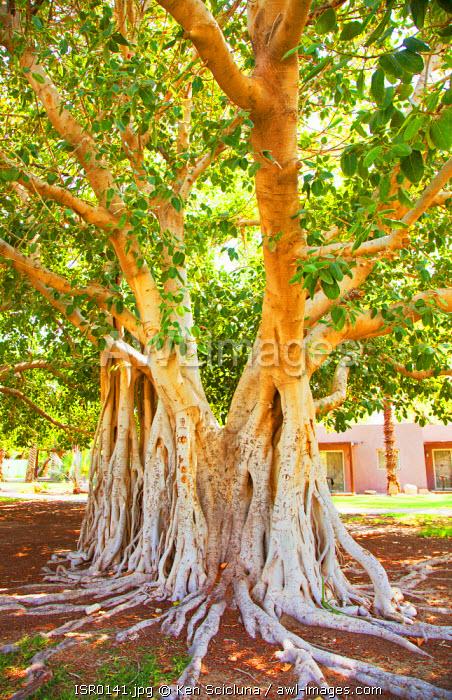 Israel, Ein Gedi. The Ein Gedi Kibbutz Botanical Garden which includes several Baobab trees.