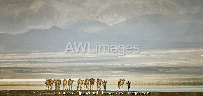 Afar herdsman leads his camels to the slat fields of the Danakil, Ethiopia, Africa