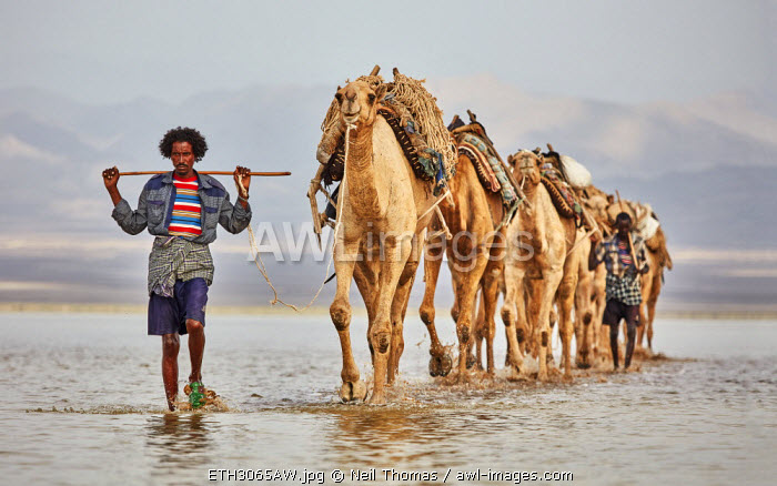Afar herdsman leads his camels to the salt fields of the Danakil, Ethiopia, Africa