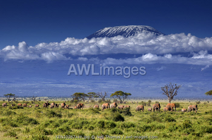 Elephants come down from the highlands to the swamps of Amboseli with Kilimanjaro in the background., Kenya, Africa
