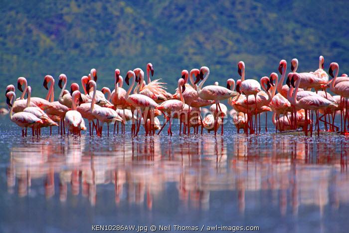 Flamingos on lake Bogoria, Kenya, Africa