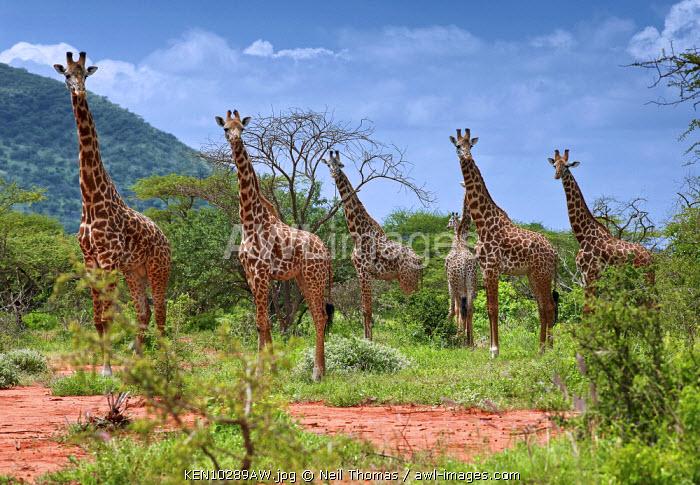 Giraffe family in Tsavo National Park, Kenya, Africa
