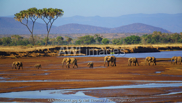 Elephant family crossing the Samburu river, Kenya, Africa
