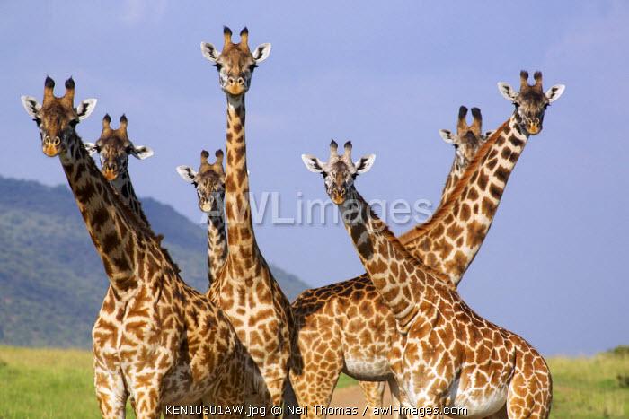 Giraffe family, Maasai Mara, Kenya, Africa