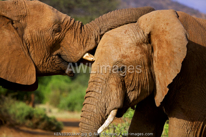 Elephant friends in the Samburu National Park, Kenya, Africa