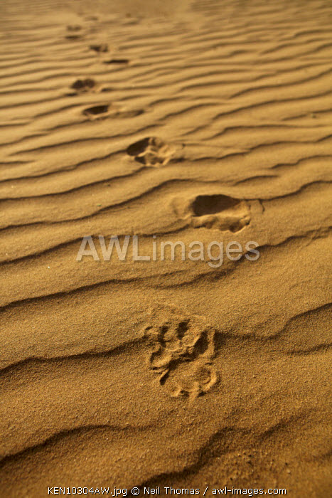 Lion footprints, Kenya, Africa