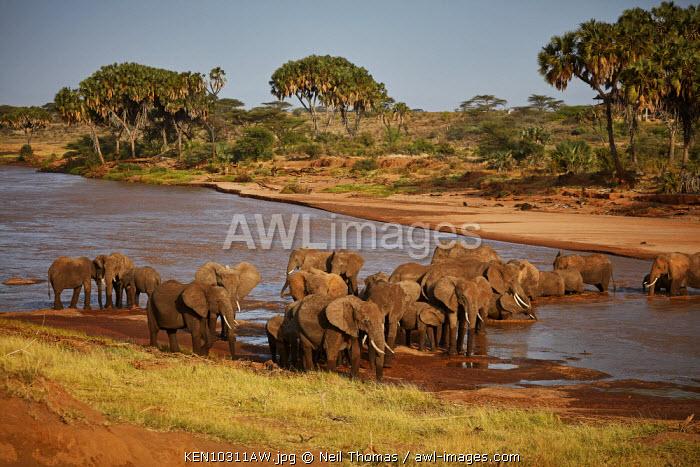 Elephant family crossing the Samburu river, Kenya, Africa