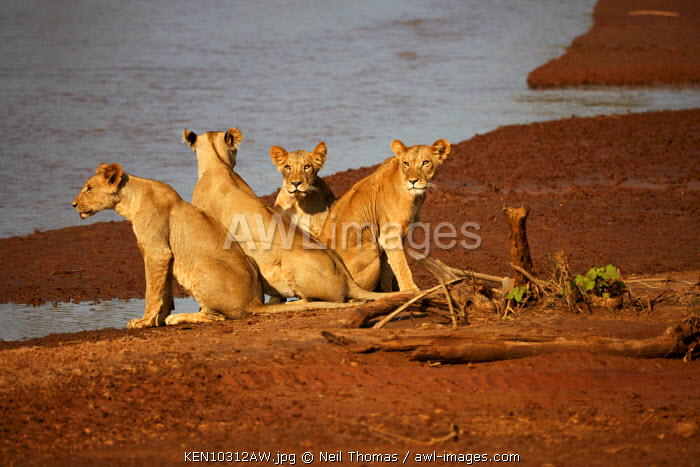 Young lion family go to the river for an early morning drink, Kenya, Africa