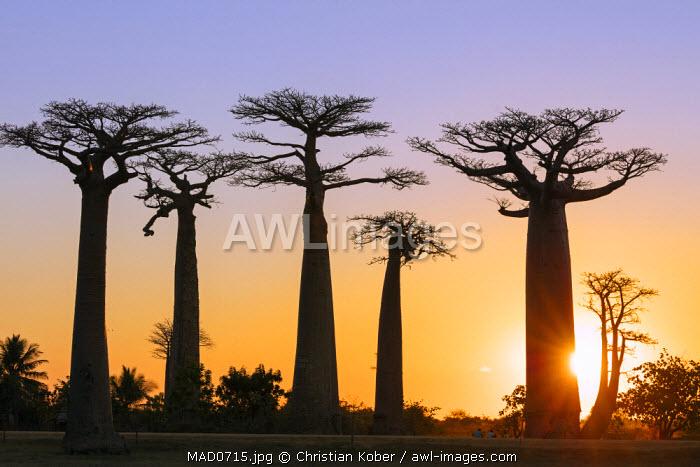 Africa, Western Madagascar, Allee de Baobab (Adansonia), sunset