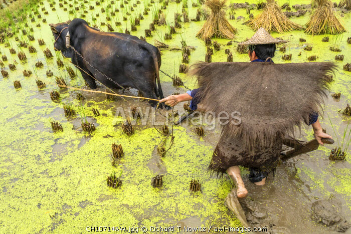 Zhejiang province, East China, farmer working in rice paddy with oxen.