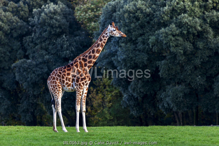 A captive Rothschild Giraffe (Giraffa camelopardalis rothschildi) at the Fota Wildlife Park, Fota, Cork, Co. Cork, Munster, Ireland.