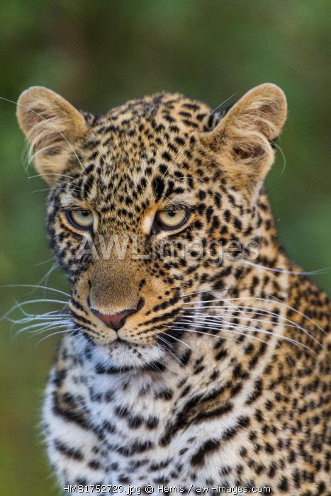 Kenya, Masai-Mara game reserve, leopard (Panthera pardus)