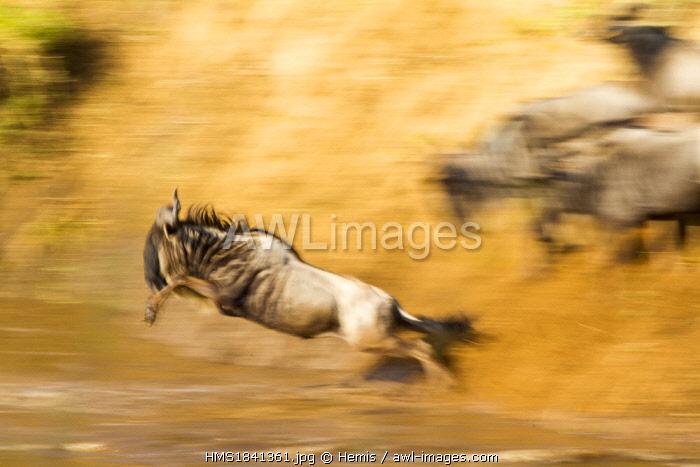 Kenya, Masai-Mara game reserve, wildebeest (Connochaetes taurinus), Migration, crossing the Mara river