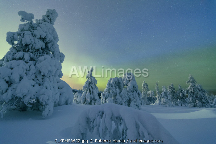 Frozen trees in snowy woods framed by starry sky in the cold polar night Ruka Kuusamo Ostrobothnia region Lapland Finland Europe