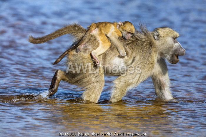 Botswana, Hunda Island, Okavango Delta. A chacma baboon wading through shallow water with a baby riding piggy-back.