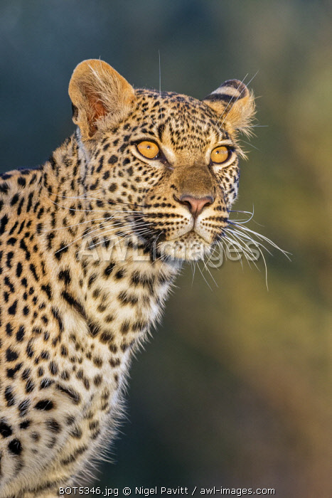 Botswana, Chief's Island, Okavango Delta. A portrait of a leopard standing on a log.