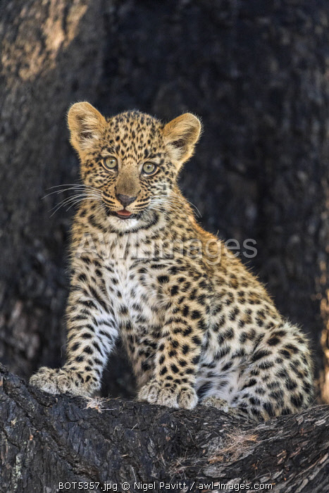 Botswana, Vumburua Plains, Okavango Delta. A leopard cub in a tree.