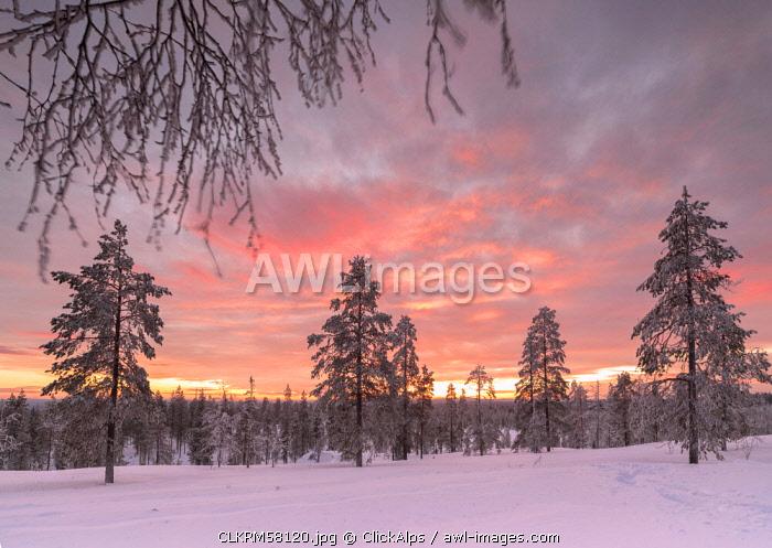 The pink light of the arctic sunset illuminates the snowy woods Vennivaara Rovaniemi Lapland region Finland Europe