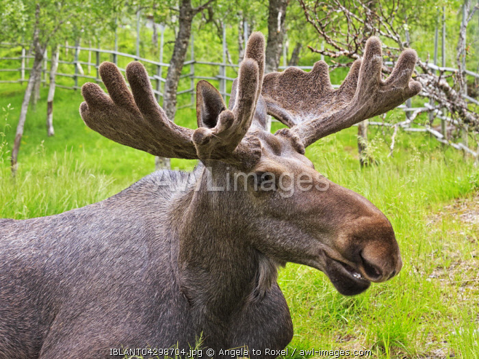 Elk (Alces alces), bull, portrait, captive, Troms, Norway, Europe