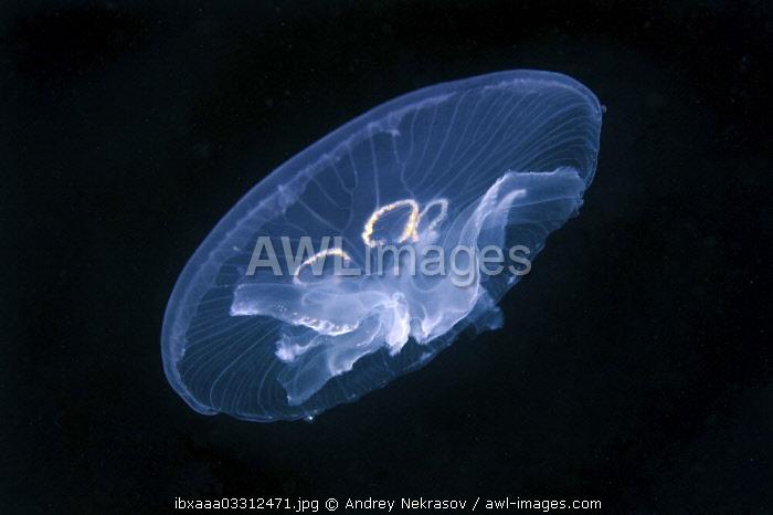 AWL Images Common Jellyfish (Aurelia aurita), a genetic