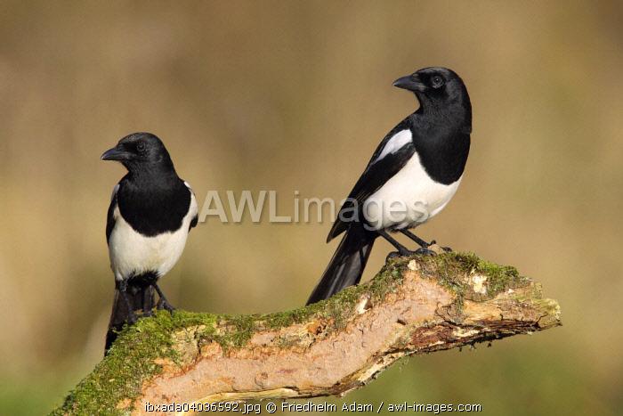 Magpie (Pica pica), pair sitting on tree stump, North Rhine-Westphalia, Germany, Europe