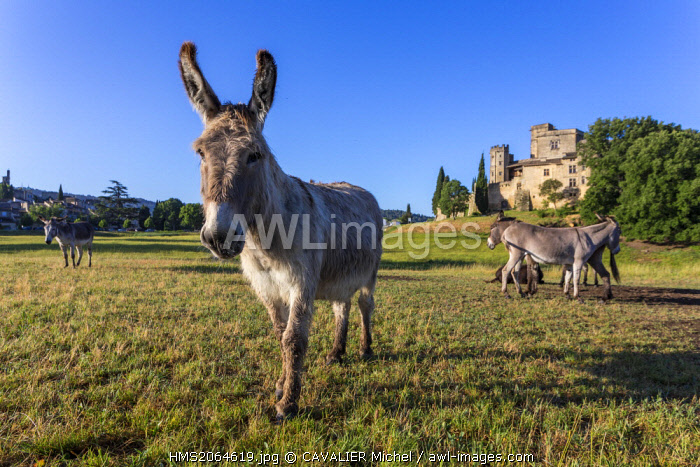 France, Vaucluse, Lourmarin, labeled Les Plus Beaux Villages de France (the Most Beautiful Villages of France), castle 15th and 16th centuries, classified as Historic Monument, donkey of Provence