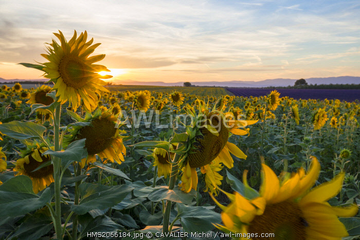 France, Alpes de Haute Provence, Parc Naturel Regional du Verdon (Regional natural park of Verdon), plateau of Valensole, field of sunflowers in flower