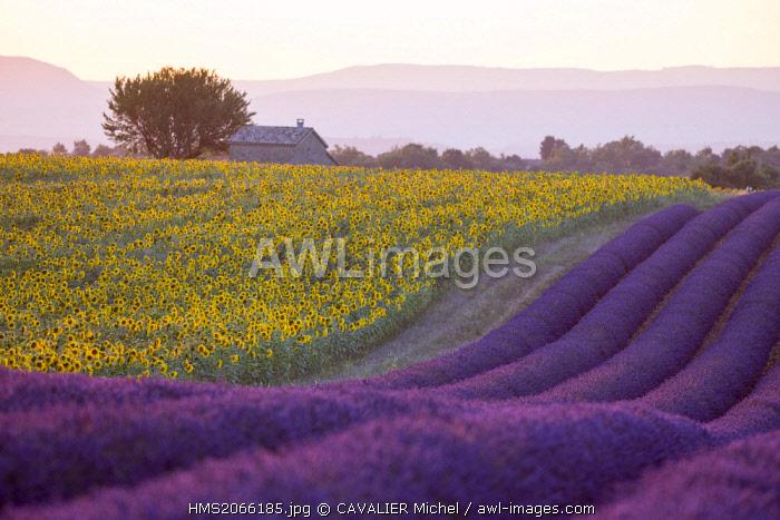 France, Alpes de Haute Provence, Parc Naturel Regional du Verdon (Regional natural park of Verdon), plateau of Valensole, field of lavender and sunflowers