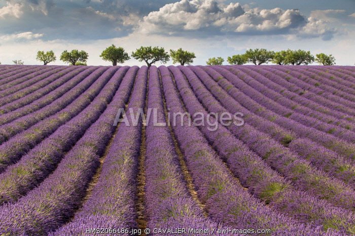 France, Alpes de Haute Provence, Parc Naturel Regional du Verdon (Regional natural park of Verdon), plateau of Valensole, field of lavender