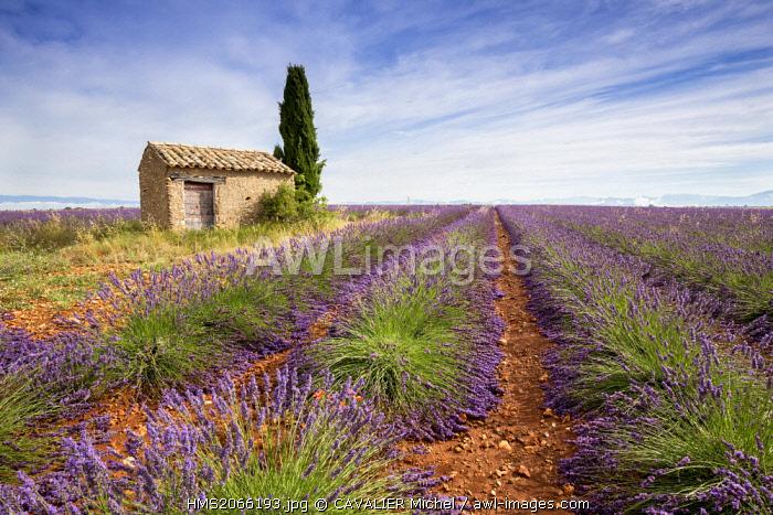 France, Alpes de Haute Provence, Parc Naturel Regional du Verdon (Regional natural park of Verdon), plateau of Valensole, small house and field of lavander