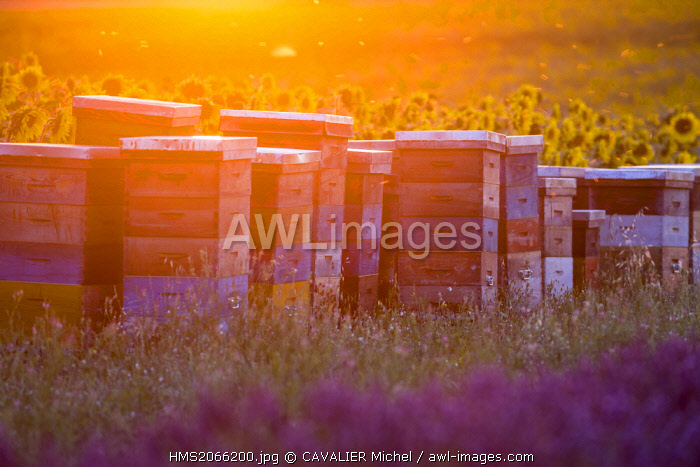 France, Alpes de Haute Provence, Parc Naturel Regional du Verdon (Regional natural park of Verdon), plateau of Valensole, hives between a field of lavender and sunflowers