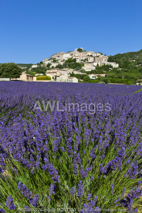 France, Alpes de Haute Provence, Simiane la Rotonde, lavender field