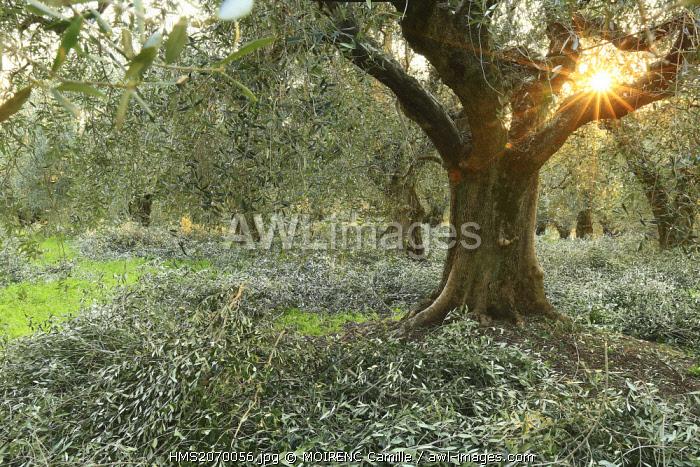 France, Alpes Maritimes, Nice, Lessatini olive domain