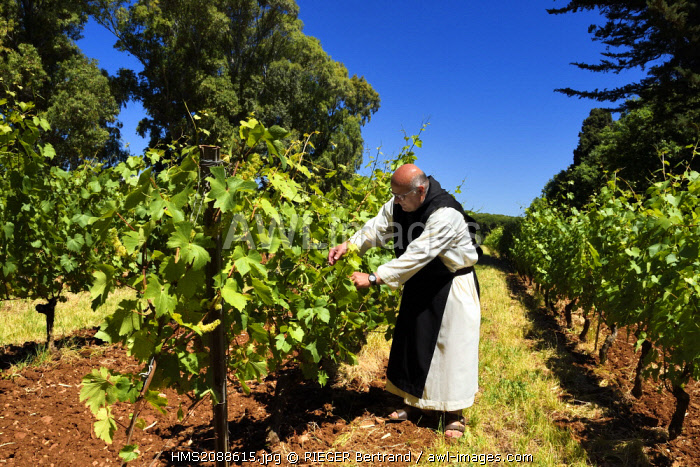 France, Alpes Maritimes, Lerins Islands, Saint Honorat island, Brother Marie Paques in the Abbey of Lerins vineyards
