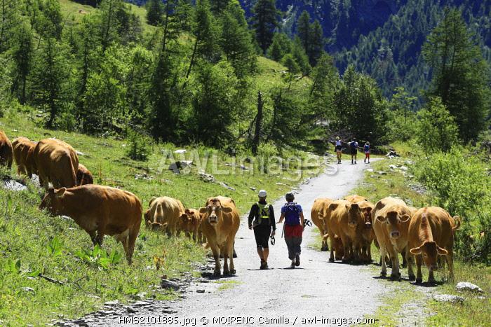 France, Hautes Alpes, regional park of Queyras, Ristolas, hike to the Belvedere Viso