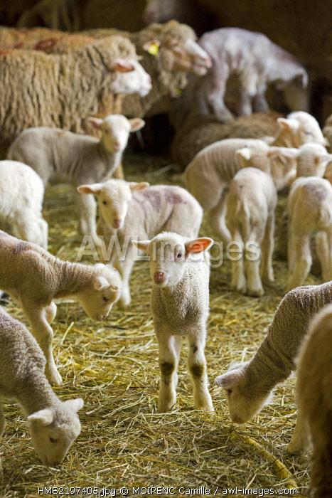 France, Vaucluse, Monieux, the farm of Viguier, merino lamb