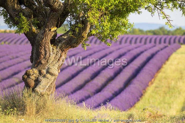 France, Alpes de Haute Provence, regional natural park of Verdon, plateau of Valensole, Almond tree (Prunus dulcis) at the edge of a field of lavenders