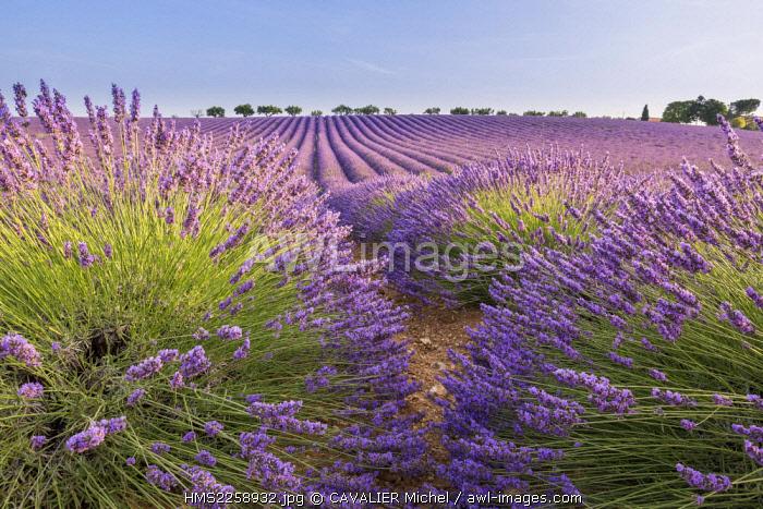 France, Alpes de Haute Provence, regional natural park of Verdon, plateau of Valensole, field of lavender