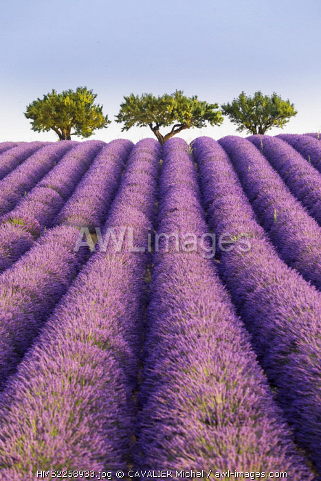 France, Alpes de Haute Provence, regional natural park of Verdon, plateau of Valensole, Almond tree (Prunus dulcis) at the edge of a field of lavenders