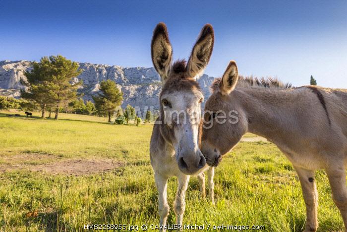 France, Bouches du Rhone, Aix en Provence, Saint Antonin sur Bayon, donkeys of Provence, in the background Mount Sainte Victoire muse of the painter Cezanne
