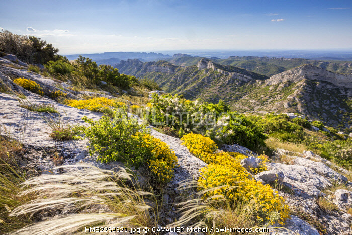 France, Bouches du Rhone, Eyguières, Massif of Alpilles, Regional Natural reserve of Alpilles, group of hedgehog heaths (Genista pulchella) in front of blocks Rocky Mountains of Civadières seen by the Tower of Opies (498m)