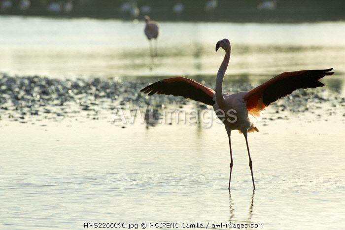 France, Bouches du Rhone, Parc naturel regional de Camargue (Regional Natural Park of Camargue), Saintes Maries de la Mer, ornithological park Pont de Gau flamingos