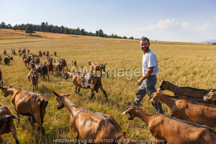 France, Vaucluse, shepherd and herds of goats on the plateau of Albion