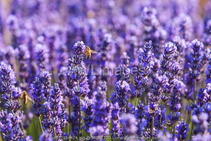 France, Vaucluse, Sault, fields of lavender