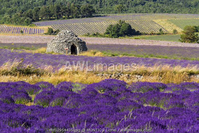 France, Vaucluse, Sault, fields of lavender