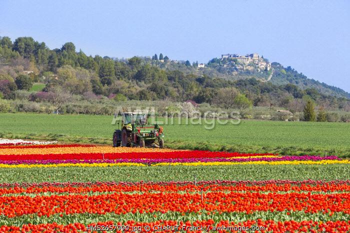 France, Alpes de Haute Provence, Lurs, tulips field