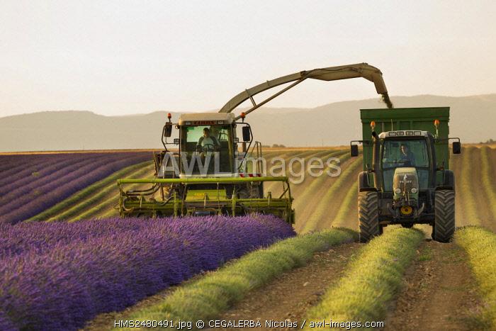 France, Alpes de Haute Provence, Natural Regional Park of the Verdon, Valensole Plateau, Lavender harvesting