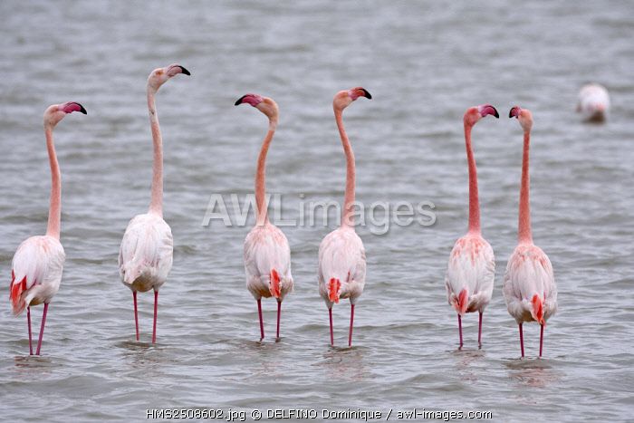 France, Bouches du Rhone, Regional Park of Camargue, Saintes Maries de la Mer, Phoenicopterus roseus