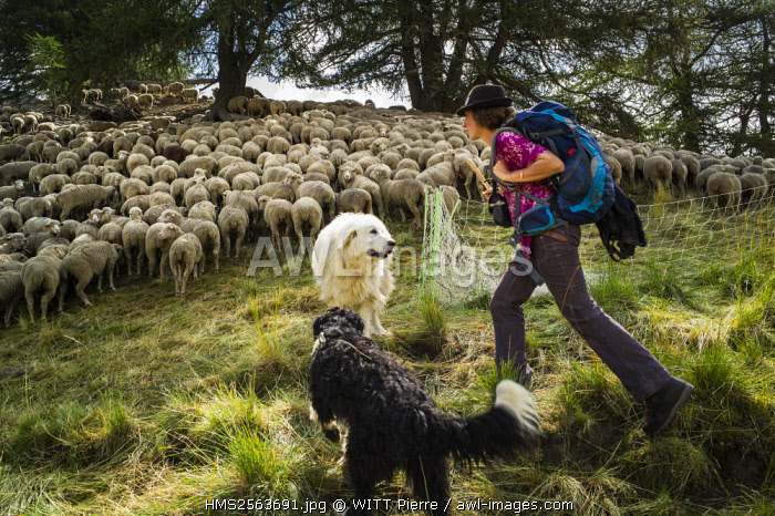 France, Hautes Alpes, Queyras Regional Natural Park, Aiguilles, Peynin valley, the shepherdess Manue and her ewes herd