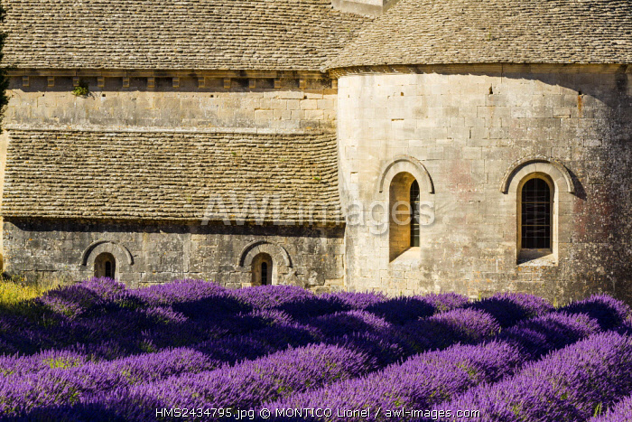 France, Vaucluse, municipality of Gordes, field of lavender in front of the abbey Notre Dame de Senanque of the XIIth century